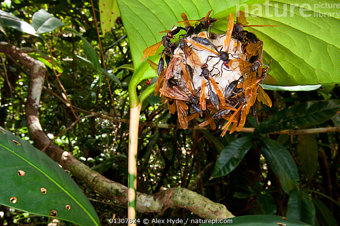 Paper wasps {Polistes sp} on nest suspended from leaf. Masoala Peninsula National Park, north east Madagascar., GROUPS,HYMENOPTERA,INSECTS,INVERTEBRATES,MADAGASCAR,NESTS,NP,PAPER WASPS,RESERVE,TROPICAL RAINFOREST,National Park, Alex Hyde