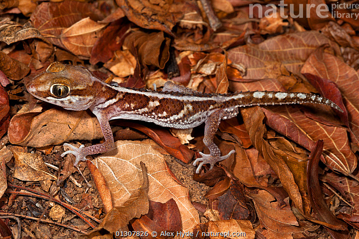 Big eyed / headed gecko {Paroedura pictus} on forest floor. Dry deciduous forest, Kirindy Forest, Western Madagascar. October, CAMOUFLAGE,GECKOS,GEKKONIDAE,LEAF LITTER,LEAVES,LIZARDS,MADAGASCAR,REPTILES,RESERVE,VERTEBRATES, Alex Hyde