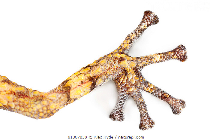 Close up of foot of Big eyed / headed gecko {Paroedura pictus} on white background. Dry deciduous forest, Kirindy Forest, Western Madagascar. October., CLOSE UPS,CUTOUT,DIGITS,FEET,GECKOS,GEKKONIDAE,LIZARDS,MADAGASCAR,REPTILES,RESERVE,TOES,VERTEBRATES, Alex Hyde