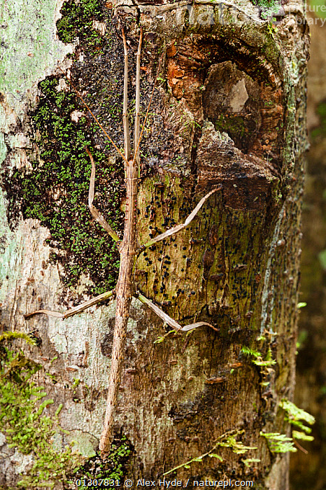 Stick Insect {Phasmid} in rainforest, camouflaged on tree trunk. Andasibe-Mantadia NP, Madagascar., ARTHROPODS,BARK,CAMOUFLAGE,INSECTS,INVERTEBRATES,MADAGASCAR,NP,PHASMIDA,PHASMIDS,RESERVE,TROPICAL RAINFOREST,TRUNKS,VERTICAL,Plants,National Park, Alex Hyde