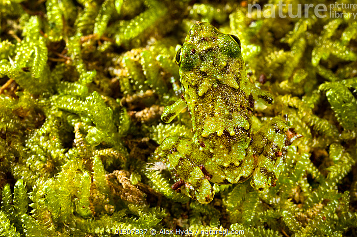 Tree frog (Platypelis grandis) juvenile camouflaged against moss. Masoala Peninsula National Park, north east Madagascar., AMPHIBIANS,ANURA,CAMOUFLAGE,FROGS,GREEN,MADAGASCAR,MOSS,NP,RESERVE,TROPICAL RAINFOREST,VERTEBRATES,National Park, Alex Hyde