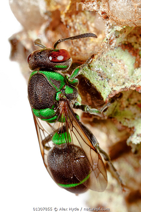 Social Wasp on nest {Hymenoptera} photographed against white background. Masoala Peninsula National Park, north east Madagascar., GREEN,HYMENOPTERA,INSECTS,INVERTEBRATES,MADAGASCAR,NESTS,NP,RESERVE,TROPICAL RAINFOREST,VERTICAL,WASPS,National Park, Alex Hyde
