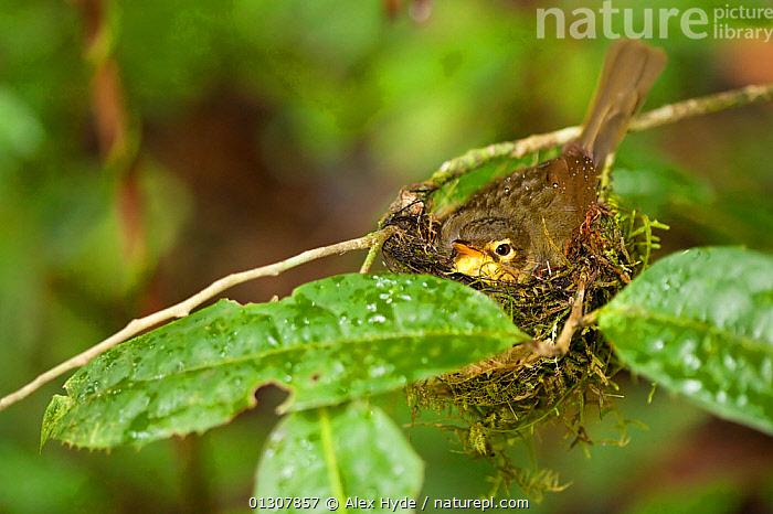 Spectacled greenbul {Bernieria zosterops} on nest in tropical rainforest, Masoala Peninsula National Park, north east Madagascar., BIRDS,MADAGASCAR,NESTS,NP,RESERVE,SYLVIIDAE,TROPICAL RAINFOREST,VERTEBRATES,WARBLERS,National Park, Alex Hyde