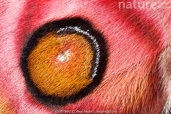 Suraka silk moth {Antherina suraka} wing detail showing scales. Maroantsetra, Northeast Madagascar., CLOSE UPS,CRYPTIC,EMPEROR MOTHS,EYES,HAIRS,HAIRY,INSECTS,INVERTEBRATES,LEPIDOPTERA,MADAGASCAR,MOTHS,NP,RED,RESERVE,WINGS,National Park, Alex Hyde