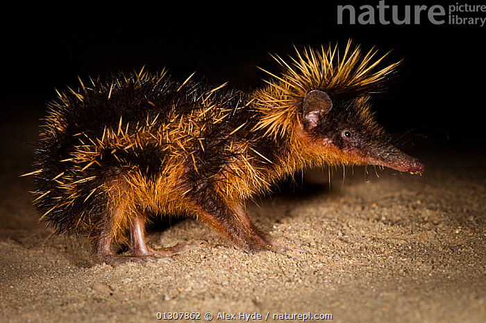 Yellow streaked tenrec {Hemicentetes semispinosum} at night with spines erected in threat display, Maroansetra, Madagascar, AFRICA,animal spine,catalogue3,close up,CLOSE UPS,CUTE,danger,fear,full length,HAIRY,HUMOROUS,INSECTIVORES,MADAGASCAR,MAMMALS,Maroansetra,NIGHT,Nobody,NOCTURNAL,NP,one animal,outdoors,PROFILE,RESERVE,side view,SPINES,TENRECS,Threats,VERTEBRATES,WEIRD,WILDLIFE,Concepts,National Park, Alex Hyde