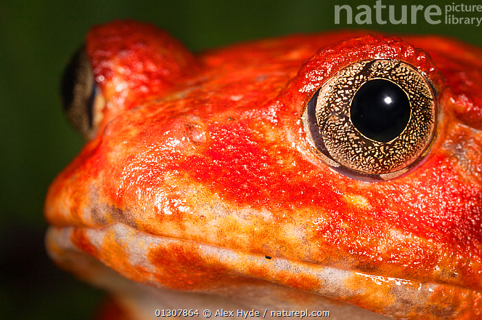 Tomato frog {Dyscophus antongili} portrait, Maroantsetra, Northeast Madagascar, AMPHIBIANS,ANURA,COLOURFUL,FROGS,MADAGASCAR,NARROW MOUTHED FROGS,NP,PORTRAITS,RED,RESERVE,TROPICAL RAINFOREST,VERTEBRATES,National Park, Alex Hyde
