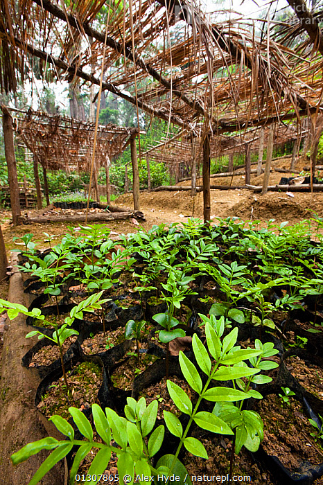 Tree nursery of endemic species, part of a forest restoration and carbon sequestration scheme that provides a sustainable livelihood for the local population. Tropical rainforest, Mitsinjo reserve, Andasibe-Mantadia National Park, Madagascar, October 2009, CONSERVATION,CULTIVATED,CULTIVATION,GARDENS,GROWTH,HORTICULTURE,MADAGASCAR,NP,PLANTS,RESERVE,SHADE,TROPICAL RAINFOREST,Concepts,National Park, Alex Hyde