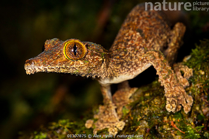 Leaf-tailed gecko {Uroplatus sikorae} on mossy tree trunk in rainforest. Masoala Peninsula National Park, north east Madagascar.  ,  GECKOS, LIZARDS, MADAGASCAR, NIGHT, NOCTURNAL, NP, PORTRAITS, REPTILES, RESERVE, TROPICAL-RAINFOREST, VERTEBRATES,National Park  ,  Alex Hyde