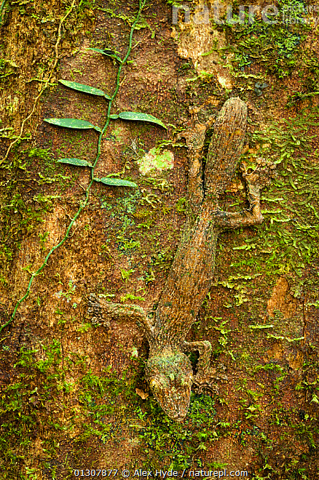 Leaf-tailed gecko {Uroplatus sikorae} camouflaged on mossy tree trunk in rainforest. Masoala Peninsula National Park, north east Madagascar., BARK, CAMOUFLAGE, GECKOS, LIZARDS, MADAGASCAR, NP, REPTILES, RESERVE, TROPICAL-RAINFOREST, TRUNKS, VERTEBRATES, VERTICAL,Plants,National Park, Alex Hyde