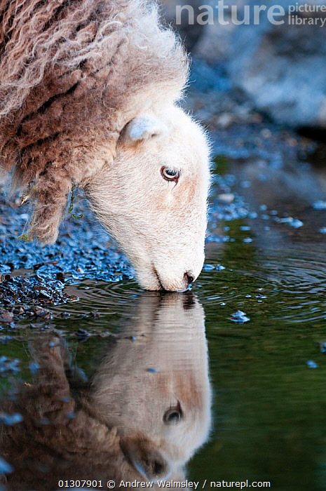 Herdwick Sheep (Ovis aries) head portrait drinking, with reflections, Lake District NP, Cumbria, England, UK. June, ARTIODACTYLA,BEHAVIOUR,BOVIDS,DRINKING,ENGLAND,LIVESTOCK,MAMMALS,NP,PORTRAITS,PROFILE,SHEEP,UK,VERTEBRATES,VERTICAL,WATER,Europe,National Park,United Kingdom,Goats,Antelopes, Andrew Walmsley