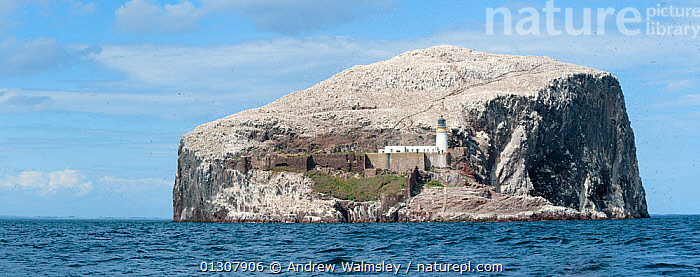 Panoramic view of Northern Gannet (Morus bassanus) colony, Bass Rock, Firth of Forth, Scotland, UK. June 2010, BASS, bassana, BIRDS, FLOCKS, GANNETS, ISLANDS, OCEANS, PANORAMIC, SCOTLAND, SEABIRDS, VERTEBRATES,Europe,UK,United Kingdom, Andrew Walmsley