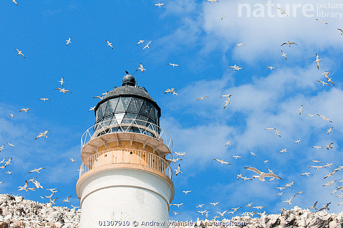 Northern Gannets (Morus bassanus) flying over the lighthouse at Bass Rock, Firth of Forth, Scotland, UK. June 2010, BASS, bassana, BIRDS, COASTS, FLOCKS, FLYING, GANNETS, LIGHTHOUSES, SCOTLAND, SEABIRDS, SKY, VERTEBRATES,BUILDINGS ,Europe,UK,United Kingdom, Andrew Walmsley