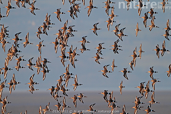 Black-tailed Godwits (Limosa limosa) and Knots (Calidris canutus) in flight in early morning light, Dee Estuary, Merseyside, England, UK, February, BIRDS,COASTS,ENGLAND,FLOCKS,FLYING,MIXED SPECIES,RED KNOT,SANDPIPERS,UK,VERTEBRATES,WADERS,WINTER,Europe,United Kingdom, Alan Williams