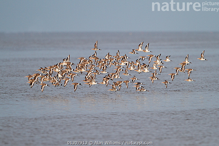 Black-tailed Godwits (Limosa limosa) flock in flight low over water, in winter plumage, Dee Estuary, England, UK, February, BIRDS,ENGLAND,FLOCKS,FLYING,GODWITS,UK,VERTEBRATES,WADERS,WATER,WINTER,Europe,United Kingdom, Alan Williams