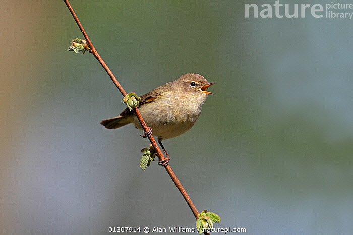 Chiffchaff (Phylloscopus collybita) singing in woodland, North Wales, UK, May, BEHAVIOUR,BIRDS,CALLING,SONGBIRDS,SPRING,UK,VERTEBRATES,VOCALISATION,WALES,WARBLERS,WOODLANDS,Europe,United Kingdom, Alan Williams