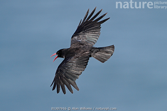 Chough (Pyrrhocorax pyrrhocorax) calling in flight over sea, South Stack RSPB reserve, Anglesey, North Wales, UK, June, BIRDS,CHOUGHS,COASTS,FLYING,RESERVE,UK,VERTEBRATES,WALES,Europe,United Kingdom, Alan Williams