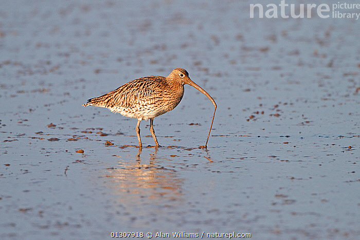 Curlew (Numenius arquata) pulling worm from mud, Dee Estuary, Wirral, England, UK, February, BIRDS,CURLEWS,ENGLAND,ESTUARIES,FEEDING,FORAGING,UK,VERTEBRATES,WADERS,WADING,WATER,WINTER,Europe,United Kingdom,Plovers, Alan Williams