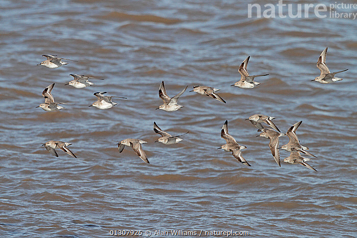 Flock of Knot (Calidris canutus) in flight over water in winter plumage, Liverpool Bay, England, UK, March, BIRDS,COASTS,ENGLAND,FLOCKS,FLYING,RED KNOT,SANDPIPERS,UK,VERTEBRATES,WADERS,WATER,WINTER,Europe,United Kingdom, Alan Williams