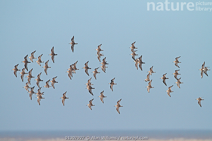 Knot (Calidris canutus) in flight over water in winter plumage, Liverpool Bay, England, UK, March, BIRDS,COASTS,ENGLAND,FLOCKS,FLYING,RED KNOT,SANDPIPERS,UK,VERTEBRATES,WADERS,WATER,WINTER,Europe,United Kingdom, Alan Williams