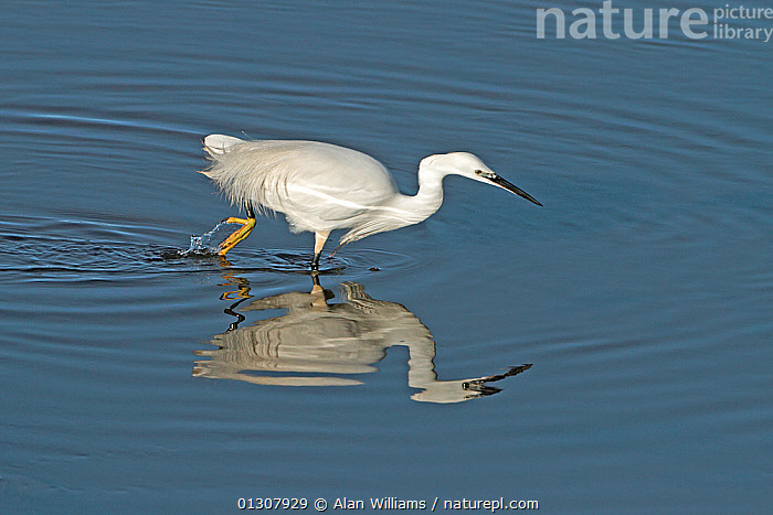 Little Egret (Egretta garzetta) foraging in shallow water on ebbing tide, with reflections, Liverpool Bay, England, UK, January, BIRDS,COASTS,ENGLAND,FORAGING,HERONS,REFLECTIONS,UK,VERTEBRATES,WATER,WINTER,Europe,United Kingdom, Alan Williams