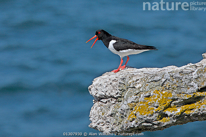 Oystercatcher (Haematopus ostralegus) calling on cliff edge, Puffin Island, North Wales, June, BEHAVIOUR,BIRDS,CALLING,COASTS,FLOCKS,OYSTERCATCHERS,UK,VERTEBRATES,VOCALISATION,WADERS,WALES,Europe,United Kingdom, Alan Williams