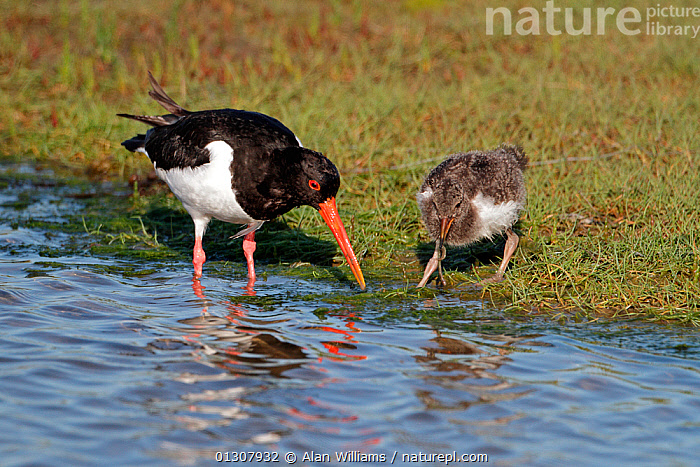 Oystercatcher (Haematopus ostralegus) chick eating prey caught by adult, Anglesey, North Wales, UK, June, BEHAVIOUR,BIRDS,CHICKS,COASTS,FAMILIES,FEEDING,OYSTERCATCHERS,PARENTAL,SUMMER,UK,VERTEBRATES,WADERS,WALES,Europe,United Kingdom, Alan Williams
