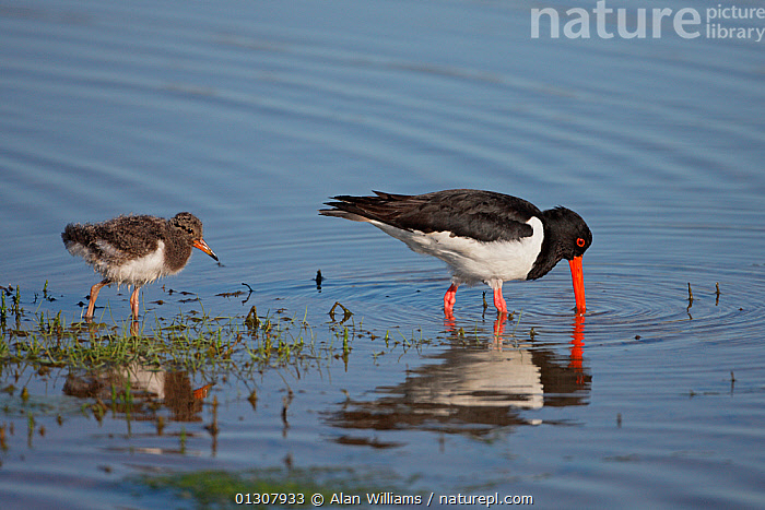 Oystercatcher (Haematopus ostralegus) chick following adult foraging in marshy pool, Anglesey, North Wales, UK, June, BEHAVIOUR,BIRDS,CHICKS,COASTS,FAMILIES,FEEDING,OYSTERCATCHERS,PARENTAL,SUMMER,UK,VERTEBRATES,WADERS,WALES,Europe,United Kingdom, Alan Williams