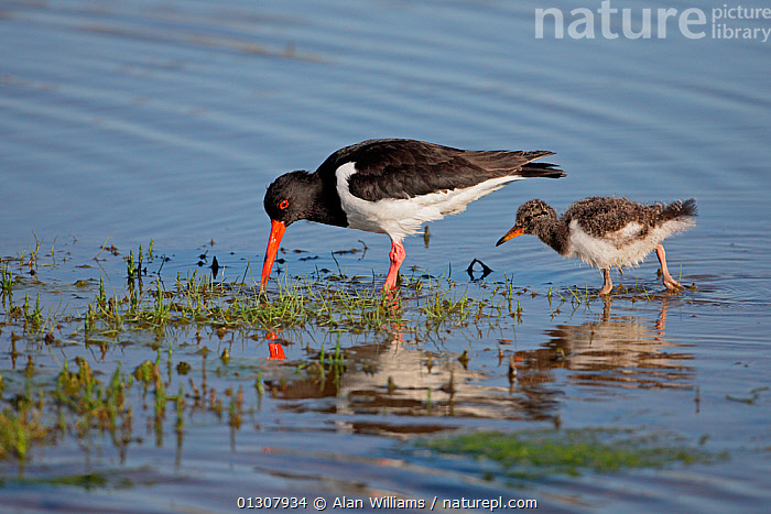 Oystercatcher (Haematopus ostralegus) chick following adult foraging in marshy pool, Anglesey, North Wales, UK, June, BEHAVIOUR,BIRDS,CHICKS,COASTS,FAMILIES,FEEDING,MARSHES,OYSTERCATCHERS,PARENTAL,SUMMER,UK,VERTEBRATES,WADERS,WALES,Wetlands,Europe,United Kingdom, Alan Williams