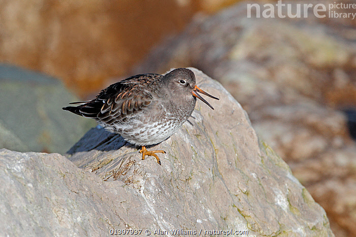 Purple Sandpiper (Calidris maritima) showing flexible beak while roosting on rocks on shore at high tide, Colwyn Bay, North Wales, UK, March, BEAKS,BILL,BIRDS,COASTS,RESTING,ROCKS,SANDPIPERS,STRETCHING,UK,VERTEBRATES,WADERS,WALES,Europe,United Kingdom, Alan Williams