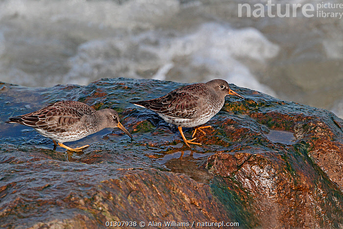 Purple Sandpipers (Calidris maritima) two feeding on rocky shore at high tide, Colwyn Bay, North Wales, UK, March, BIRDS,COASTS,FEEDING,FORAGING,SANDPIPERS,UK,VERTEBRATES,WADERS,WALES,Europe,United Kingdom, Alan Williams