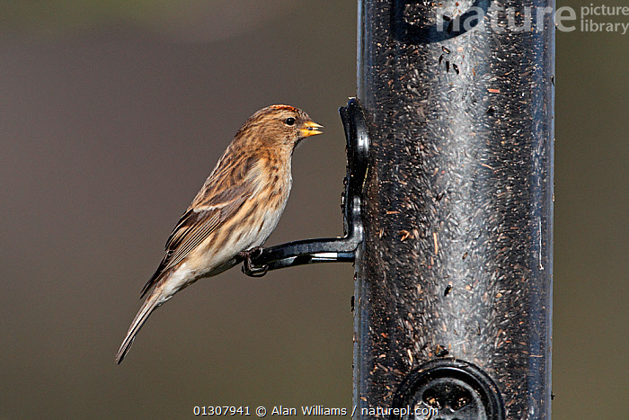 Lesser Redpoll (Carduelis flammea cabaret) female feeding on Niger seeds in garden in winter, Cheshire, England, UK, February, BIRDS,ENGLAND,FEEDERS,FEEDING,FEMALES,FINCHES,GARDENS,SEEDS,UK,VERTEBRATES,WINTER,Europe,United Kingdom, Alan Williams