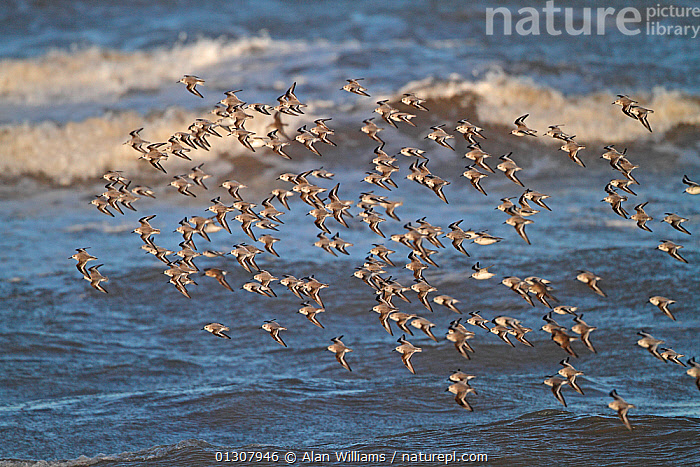 Sanderling (Calidris alba) flock in flight over water, Liverpool Bay, England, UK, January., BIRDS,COASTS,ENGLAND,FLOCKS,FLYING,SANDPIPERS,UK,VERTEBRATES,WADERS,WATER,Europe,United Kingdom, Alan Williams