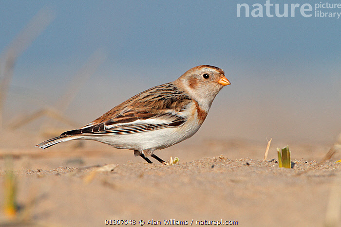 Snow Bunting (Plectrophenax nivalis) female on beach in winter, North Wales Coast, UK, March, BEACHES,BIRDS,BUNTINGS,FEMALES,PORTRAITS,UK,VERTEBRATES,WALES,WINTER,Europe,United Kingdom, Alan Williams