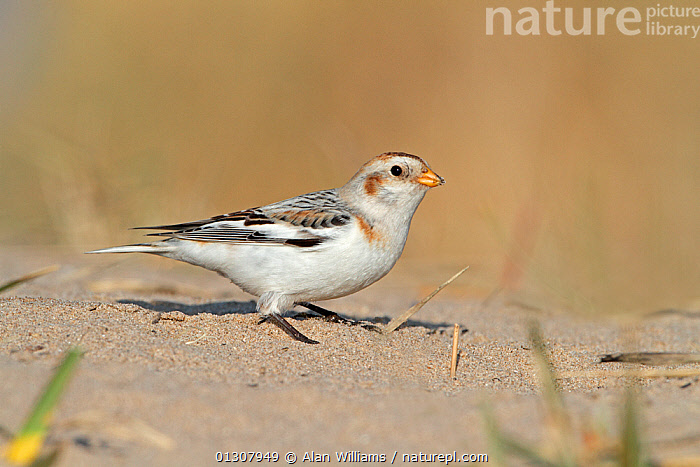 Snow Bunting (Plectrophenax nivalis) male  foraging on beach in winter, North Wales Coast, UK, March, BEACHES,BIRDS,BUNTINGS,FORAGING,MALES,PORTRAITS,UK,VERTEBRATES,WALES,WINTER,Europe,United Kingdom, Alan Williams