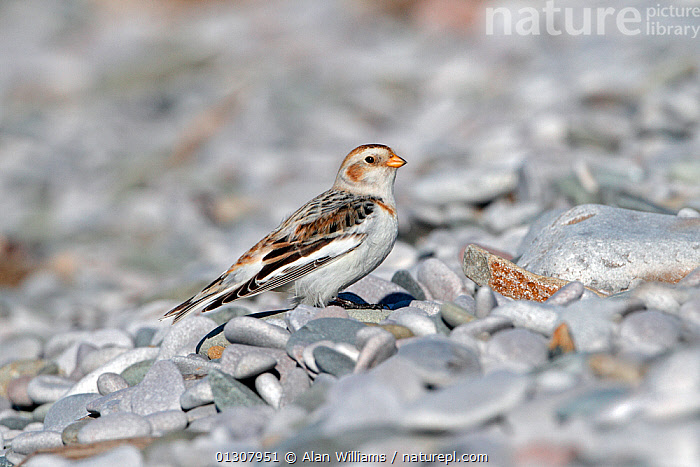Snow Bunting (Plectrophenax nivalis) male on pebble beach in winter, North Wales Coast, UK, March, BEACHES,BIRDS,BUNTINGS,CAMOUFLAGE,COASTS,MALES,PEBBLES,UK,VERTEBRATES,WALES,WINTER,Europe,United Kingdom, Alan Williams