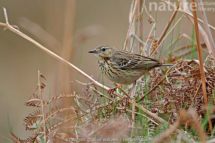 Tree Pipit (Anthus trivialis) on ground in open woodland on hillside, North Wales, UK, May, BIRDS,PIPITS,PORTRAITS,SPRING,UK,VERTEBRATES,WALES,WOODLANDS,Europe,United Kingdom, Alan Williams