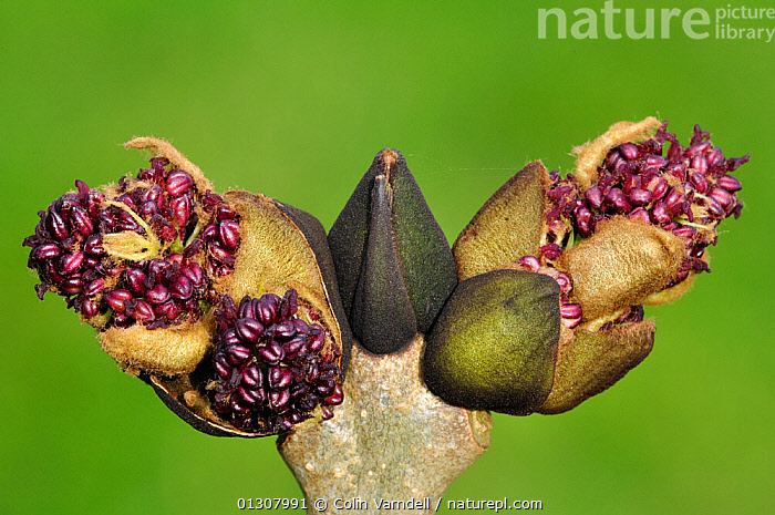 Ash (Fraxinus axcelsior) close-up of buds bursting, and flowers emerging, Spring. Dorset, England, UK April, BLOSSOM,BUDS,CLOSE UPS,DICOTYLEDONS,ENGLAND,FLOWERS,OLEACEAE,PLANTS,SPRING,TREES,UK,Europe,United Kingdom, Colin Varndell