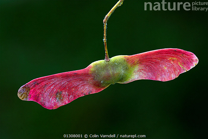 Field Maple (Acer campestre) close up of two winged seeds, Dorset, England, UK, October, ACERACEAE,CLOSE UPS,COLOURFUL,DICOTYLEDONS,ENGLAND,PINK,PLANTS,SEEDS,TREES,UK,Europe,United Kingdom, Colin Varndell