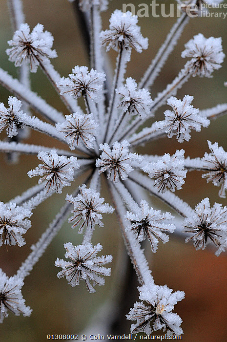 Frost crystals on Cow parsley (Anthriscus sylvestris) seeds. Dorset, UK. January, APIACEAE,CLOSE UPS,COLD,CRYSTALS,DICOTYLEDONS,ENGLAND,FREEZING,FROST,ICE,PLANTS,UK,UMBELLIFERAE,VERTICAL,WINTER,Europe,Weather,United Kingdom, Colin Varndell