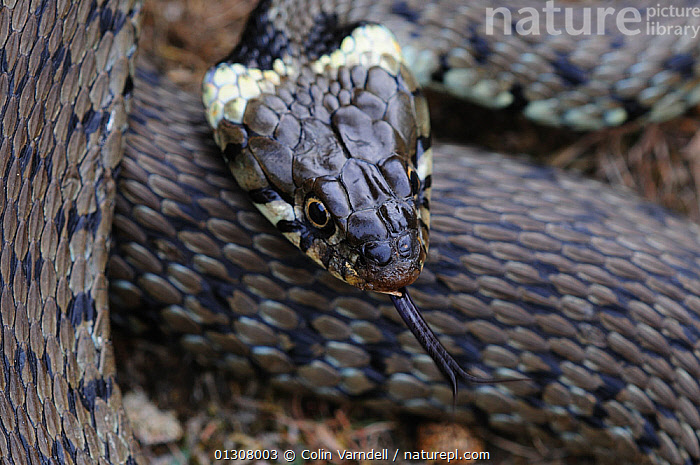Grass snake (Natrix natrix) head portrait, with protruding tongue, Higher Hyde Heath, Dorset, England, UK July, CLOSE UPS,COLUBRIDS,ENGLAND,PORTRAITS,REPTILES,SNAKES,TONGUES,UK,VERTEBRATES,Europe,United Kingdom, Colin Varndell