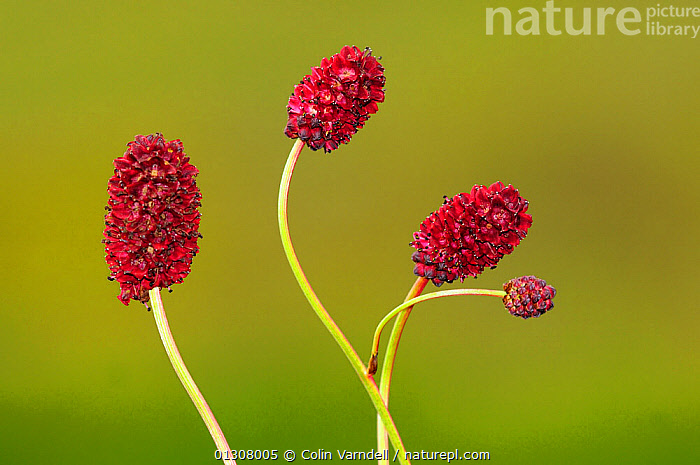 Great Burnet (Sanguisorba) in flower, Winfrith Heath, Dorset, England, UK July, DICOTYLEDONS,ENGLAND,FLOWERS,PLANTS,RED,ROSACEAE,UK,Europe,United Kingdom, Colin Varndell