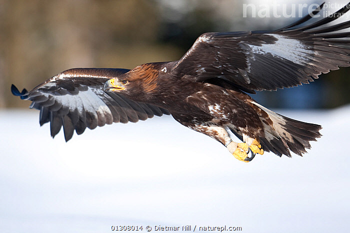 Golden eagle (Aquila chrysaetos) in flight over snow, Alps, Austria, controlled conditions, ACTION,ALPS,AUSTRIA,BIRDS,BIRDS OF PREY,DRAMATIC,EUROPE,FLYING,MOUNTAINS,POWERFUL,SNOW,WINTER,Concepts,Eagles,Raptor, Dietmar Nill