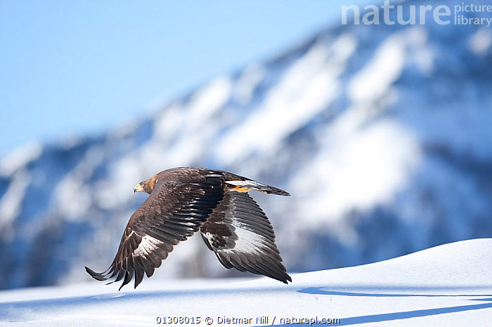 Golden eagle (Aquila chrysaetos) in flight over snow, Alps, Austria, controlled conditions, alps,AUSTRIA,BIRDS,BIRDS OF PREY,catalogue3,DETERMINATION,differential focus,EUROPE,flight,FLYING,focus on foreground,HABITAT,MOUNTAINS,Mountainside,nature,Nobody,one animal,outdoors,plumage,predator,selective focus,SNOW,stealth,WILDLIFE,wings spread,WINTER,Eagles,Raptor, Dietmar Nill