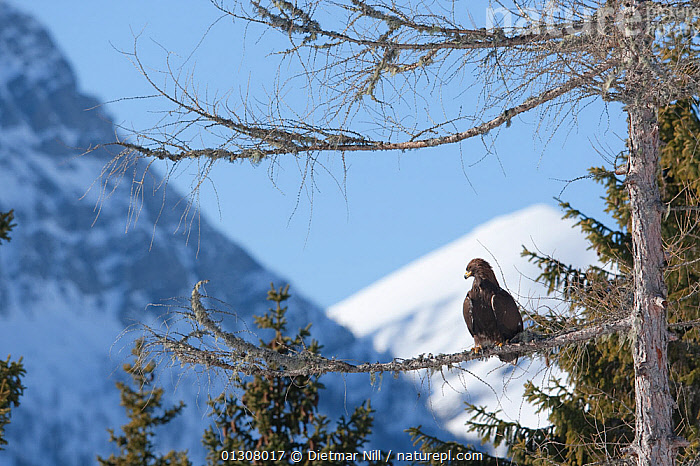 Golden eagle (Aquila chrysaetos) perched in tree in the Alps, Austria, controlled conditions, ALPS,AUSTRIA,BIRDS,BIRDS OF PREY,EUROPE,LANDSCAPES,MOUNTAINS,SNOW,TREES,WINTER,PLANTS,Eagles,Raptor, Dietmar Nill