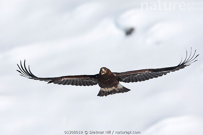 Golden eagle (Aquila chrysaetos) in flight over snow, Alps, Austria, controlled conditions, ALPS,AUSTRIA,BIRDS,BIRDS OF PREY,EUROPE,FLYING,MOUNTAINS,SNOW,VOCALISATION,WINGS,WINTER,Eagles,Raptor, Dietmar Nill