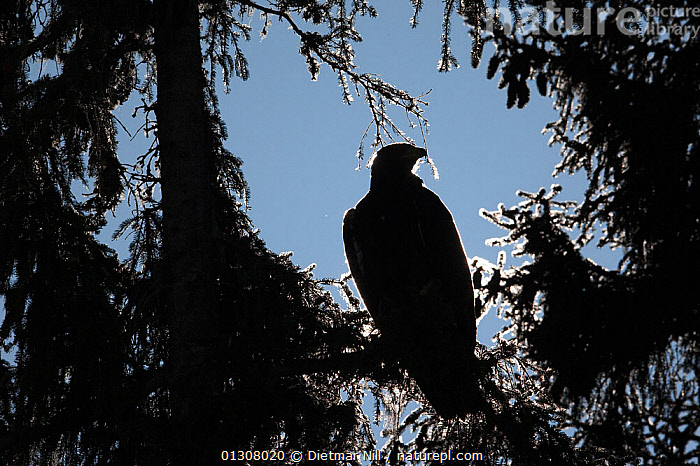 Silhouette of Golden eagle (Aquila chrysaetos) perched in tree, Alps, Austria, controlled conditions, ALPS,AUSTRIA,BIRDS,BIRDS OF PREY,EUROPE,MOUNTAINS,SILHOUETTES,SNOW,TREES,WINTER,PLANTS,Eagles,Raptor, Dietmar Nill