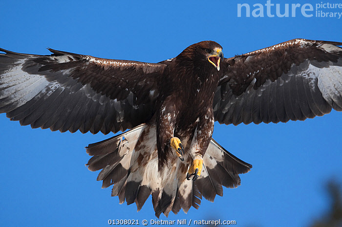 Golden eagle (Aquila chrysaetos) in flight, calling, Alps, Austria, controlled conditions, ALPS,AUSTRIA,BIRDS,BIRDS OF PREY,EUROPE,FLYING,MOUNTAINS,SNOW,VOCALISATION,WINTER,Eagles,Raptor, Dietmar Nill