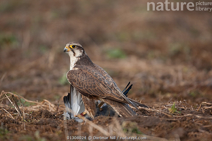 Saker falcon (Falco cherrug) on ground with bird prey, wild bird, Slovakia, BIRDS OF PREY,EUROPE,FALCONS,FEEDING,PREDATION,SLOVAKIA,VERTEBRATES,WILD,Behaviour, Dietmar Nill