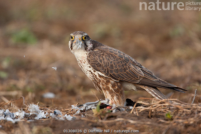 Saker falcon (Falco cherrug) on ground with bird prey, wild bird, Slovakia, BIRDS OF PREY,EUROPE,FALCONS,FEEDING,MOUNTAINS,PREDATION,SLOVAKIA,VERTEBRATES,WILD,Behaviour, Dietmar Nill