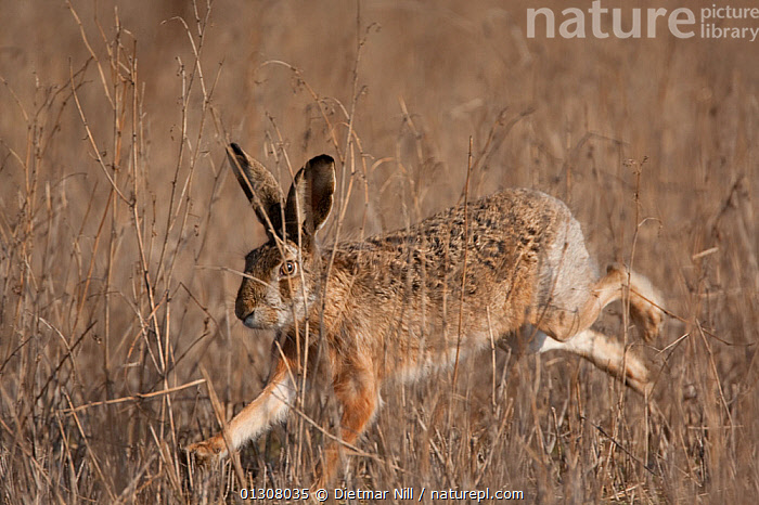 European hare (Lepus europaeus) running through field, Slovakia, BEHAVIOUR,BROWN,CAMOUFLAGE,EUROPE,HARES,LAGOMORPHS,MAMMALS,RUNNING,SLOVAKIA,VERTEBRATES, Dietmar Nill